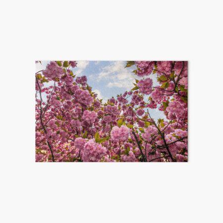 Sakura flower blossom in springtime Art Board Print