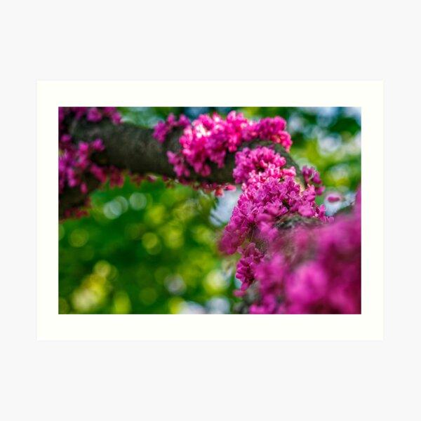 Judas tree blossom in springtime Art Print