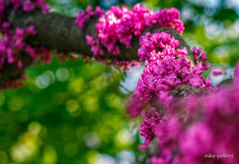 Judas tree blossom in springtime by mike-pellinni
