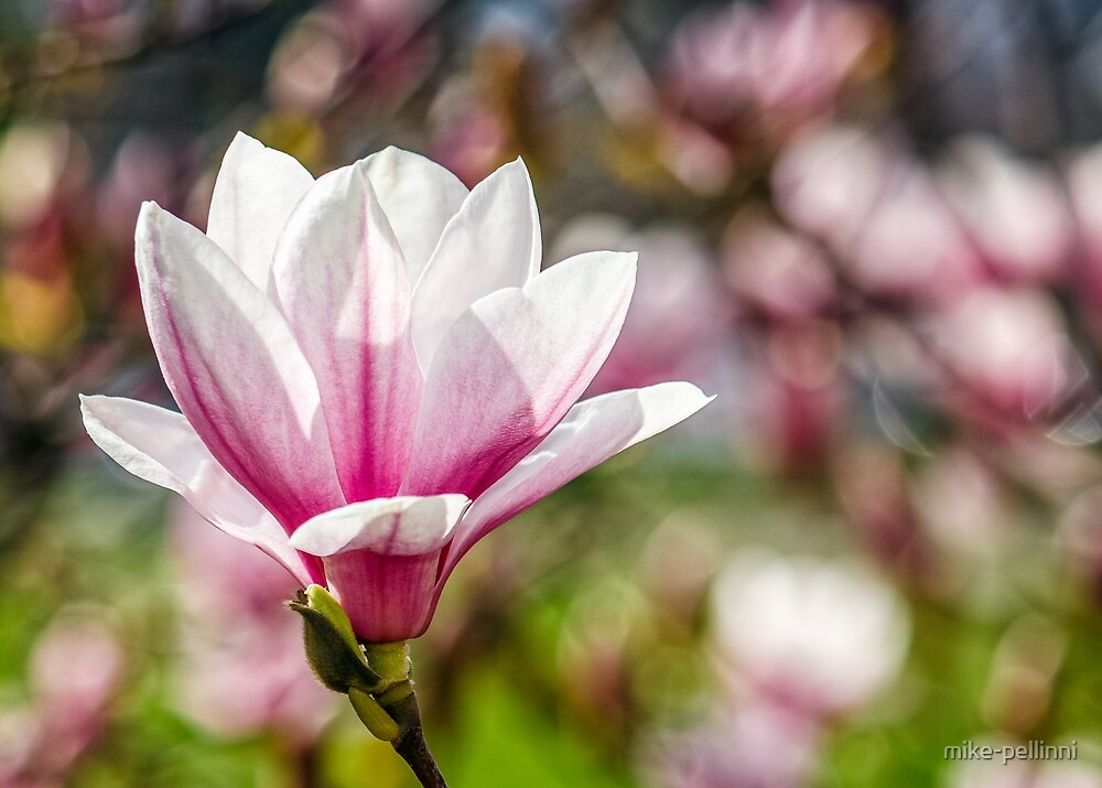 Magnolia flower blossom in springtime by mike-pellinni