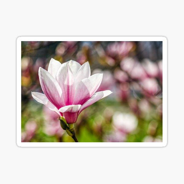 Magnolia flower blossom in springtime Sticker