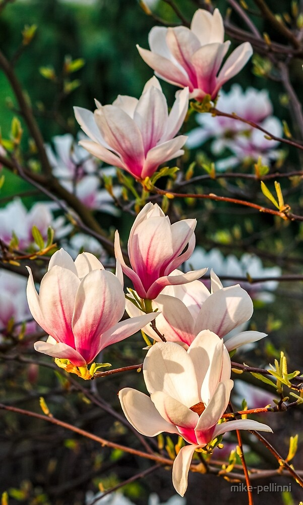 Magnolia flower blossom in spring by mike-pellinni