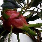 Dragon Fruit on my Easton Wall by MardiGCalero