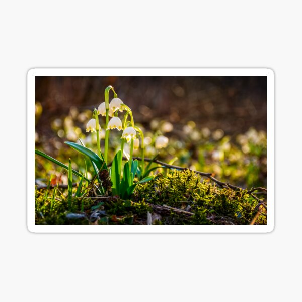 snowflake, first flowers of spring Sticker
