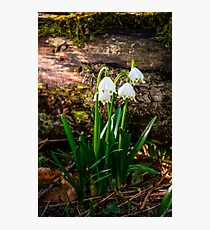 snowflake, first flowers of spring Photographic Print