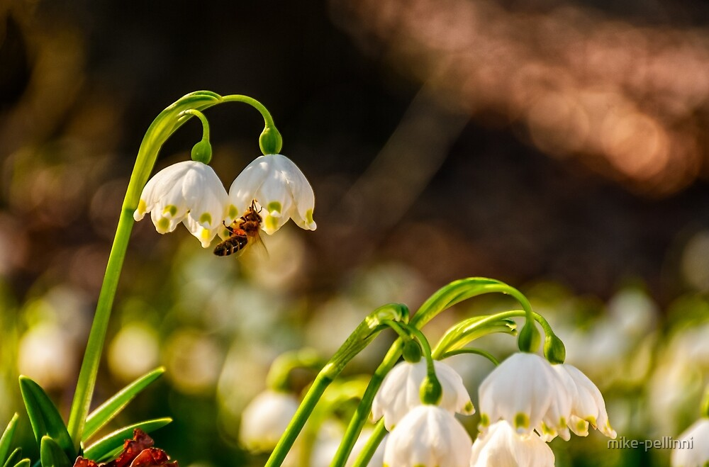 bee gathering pollen from snowflake, first flowers of spring by mike-pellinni