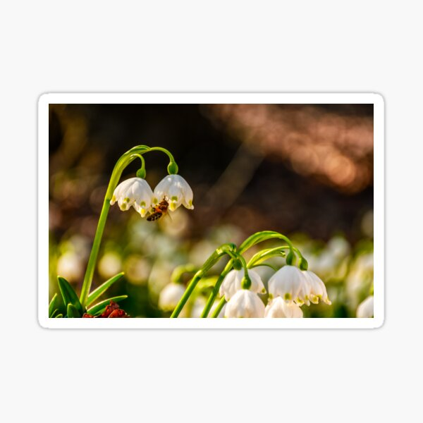 bee gathering pollen from snowflake, first flowers of spring Sticker
