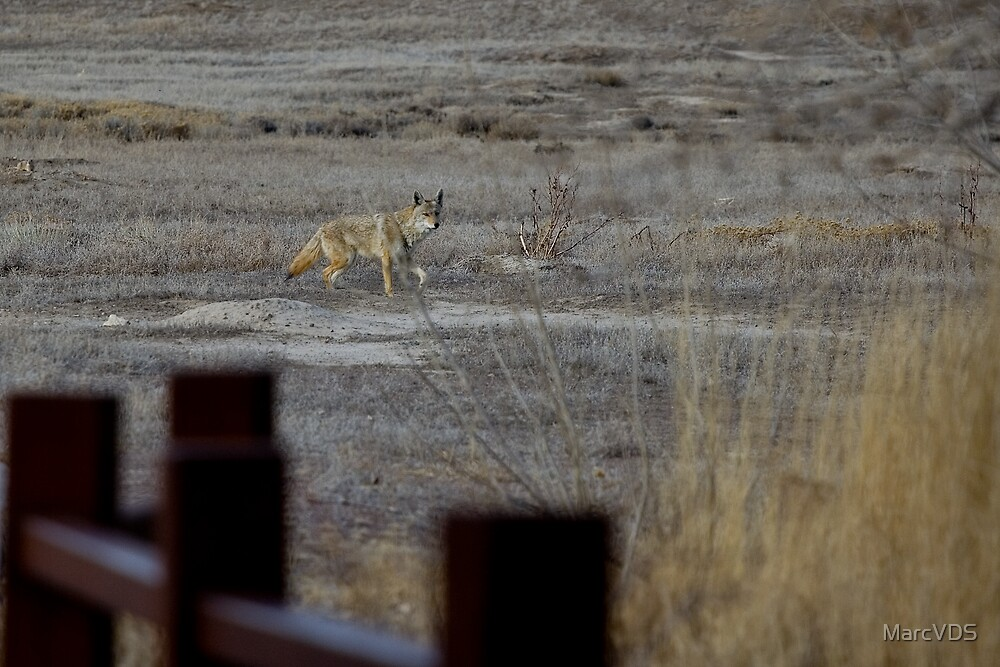 Coyote in the park by MarcVDS