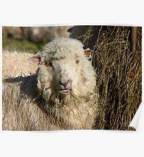 I Love Supplementary Food In Winter - Yum! - Sheep - NZ Poster