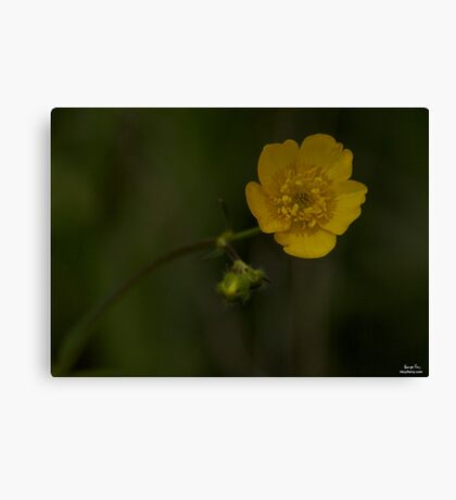 Meadow Buttercup - Burntollet Woods, County Derry Canvas Print