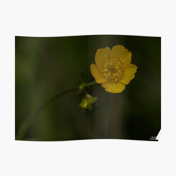 Meadow Buttercup - Burntollet Woods, County Derry Poster