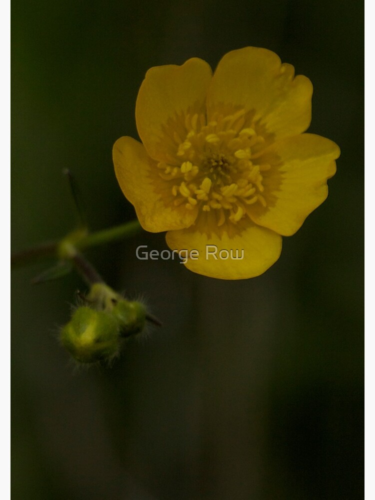 Meadow Buttercup - Burntollet Woods, County Derry by VeryIreland