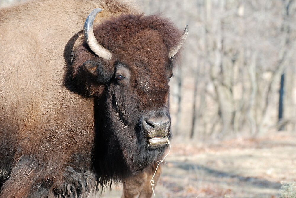 American Bison Portrait by Jim Caldwell