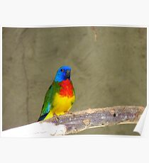 Who's Joseph & Why Are They Talking About My Coat? - Scarlet-Chested Parrot - NZ Poster