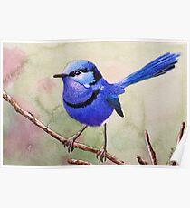 Australian Fairy Wren (Blue Wren) Poster
