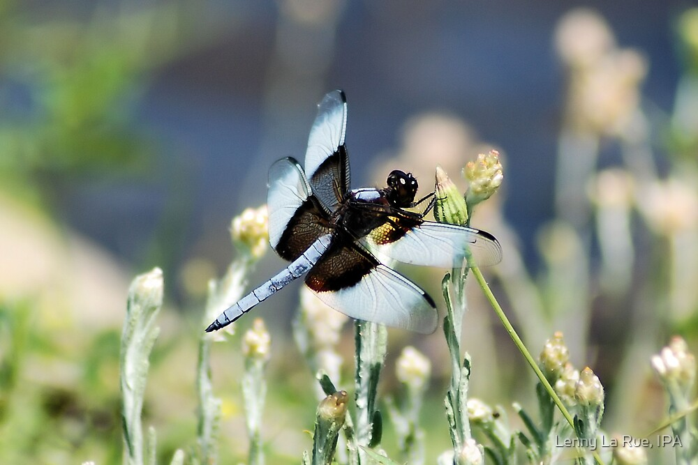 possibly a White Tail Dragonfly by Lenny La Rue, IPA