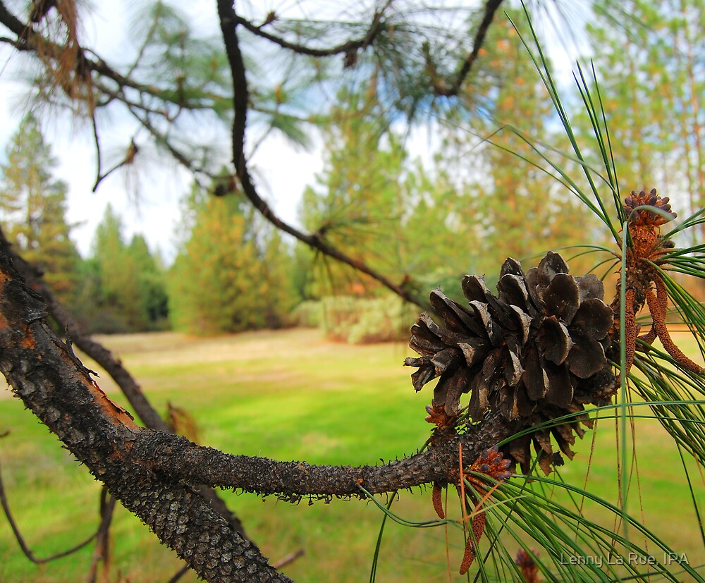 meadow thru pine by Lenny La Rue, IPA