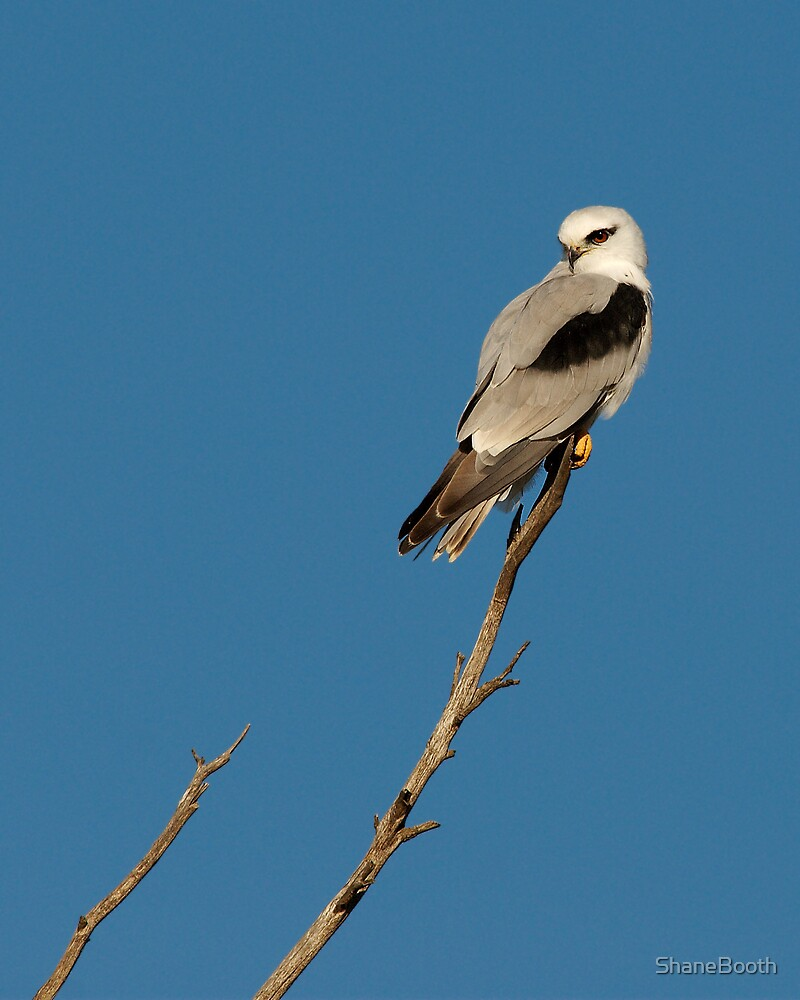 Black Shouldered Kite by ShaneBooth