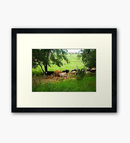 Milking time Framed Print