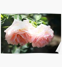 Pink Roses in Sunshine Poster