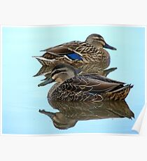 We're Cool, Calm And Collected..! Mallard Ducks - NZ Poster