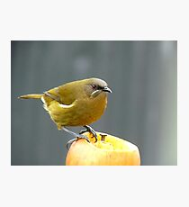 I'm Hungry For The Big Apple - Bell-Bird - Southland Photographic Print