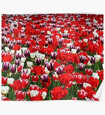 Tulip Sensation Poster