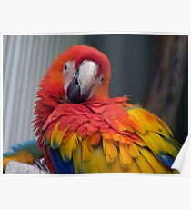 I Promise...I Haven't Seen Bob At All...- Macaw - NZ Poster