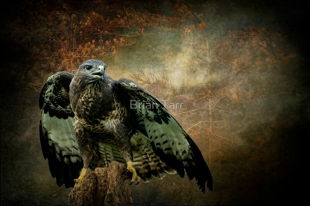Common Buzzard by Tarrby