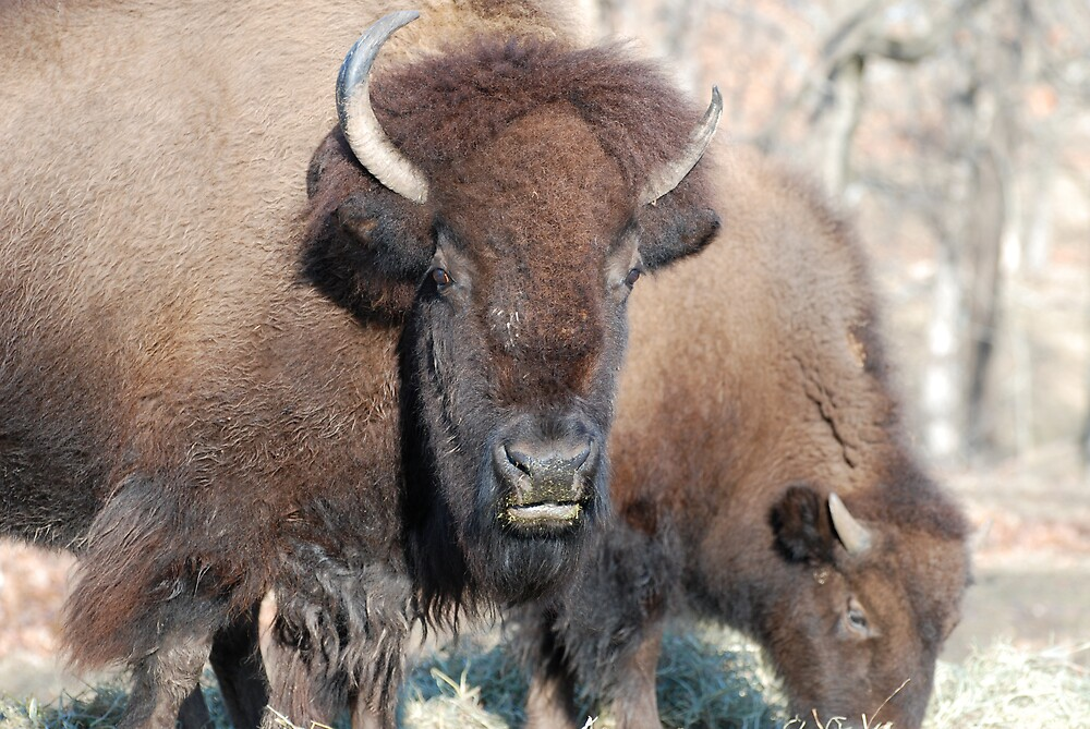 American Bison Couple 2 by Jim Caldwell