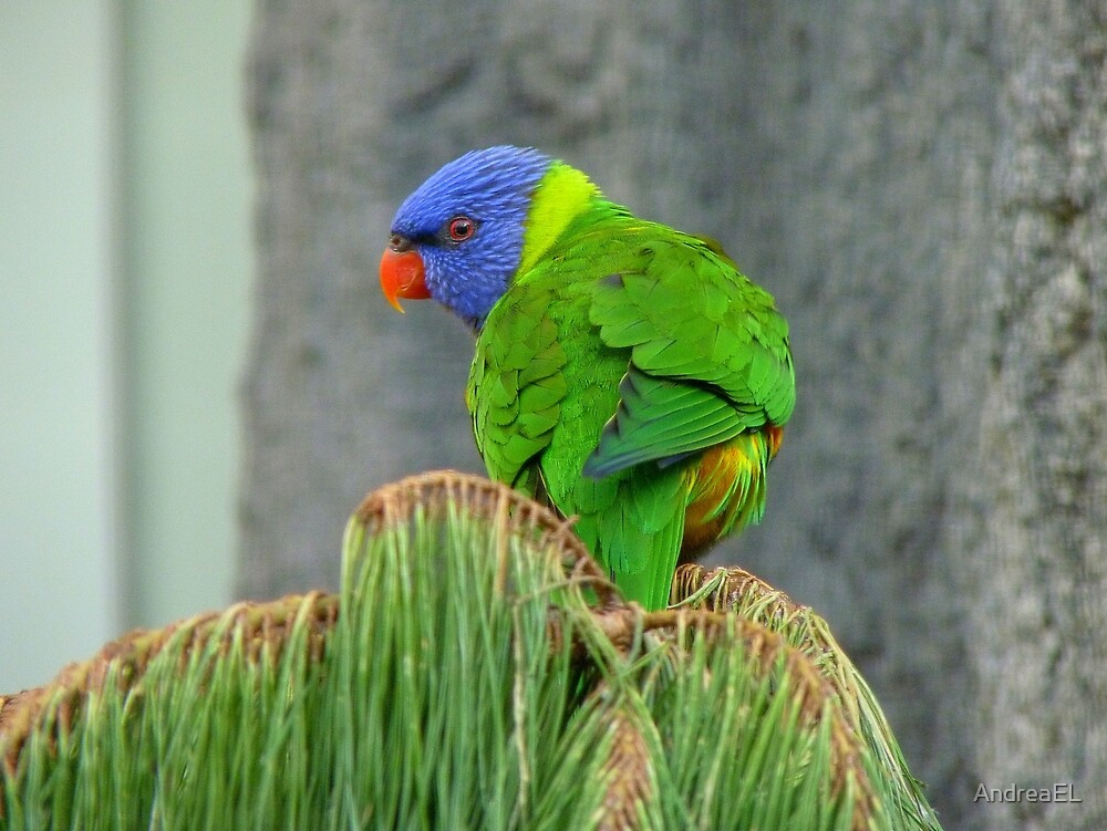 HEY!! There's A Great View From Up Here!! - RainbowLorikeet - NZ by AndreaEL