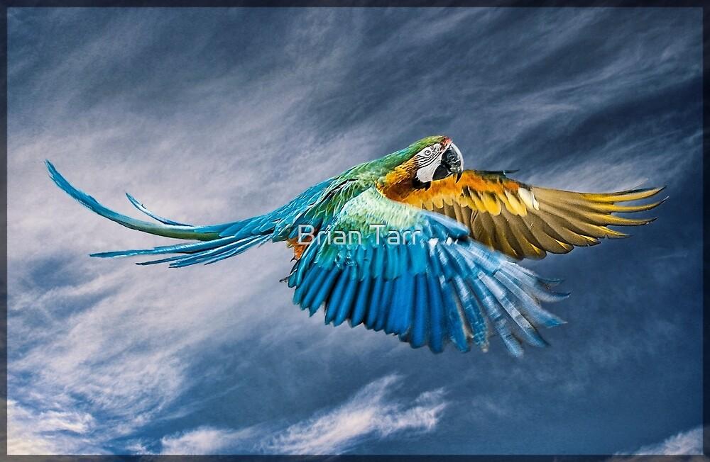 Blue Macaw in flight by Brian Tarr