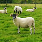 Blackface Sheep at Kilmartin by lezvee