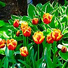 Tulips and Hostas by Shulie1