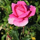 A Pink Rose in Dunsborough by kalaryder