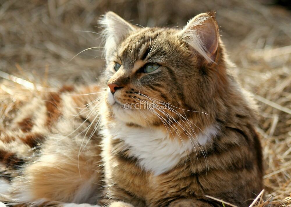 Maine Coon cat on the farm by orchidcat