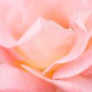Pink Rose by MischievousLane