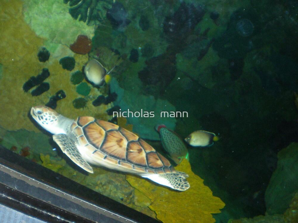 baby sea turtle by nicholas  mann