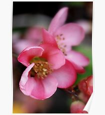 Pink Quince Poster