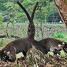 Coati Bears Costa Rica by Ursula Tillmann