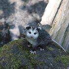Baby Opossum by FedbyNatureArt