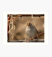 Young Sparrow Art Print