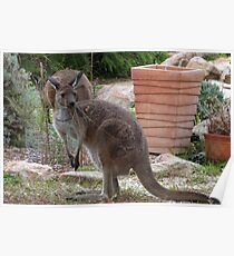 A Piece of Wire weed in her mouth! Wild Western Grey Roo in the garden.  Poster