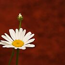 Simply Daisy by Richard G Witham