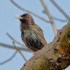 Common starling (Sturnus vulgaris) by MarekM