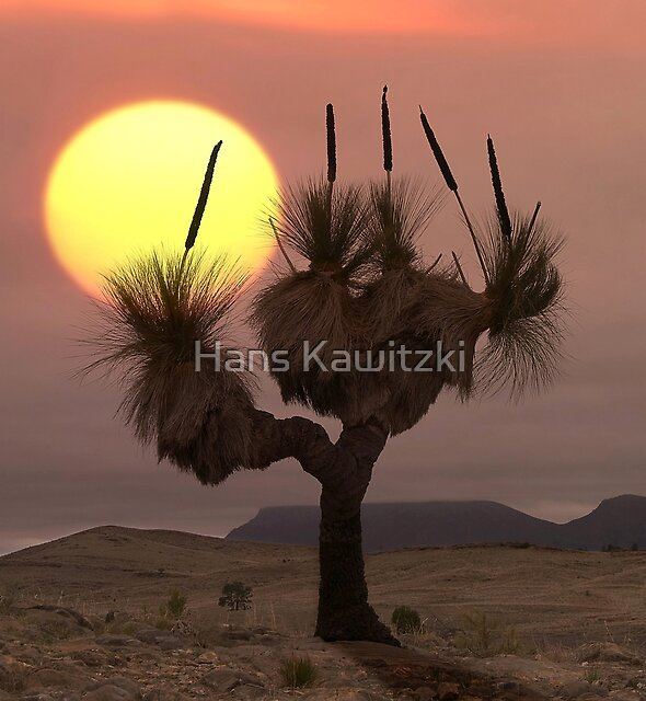 1205 The Grass Tree - Flinders Ranges by Hans Kawitzki