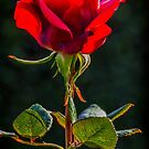 A Last Rose by Bette Devine