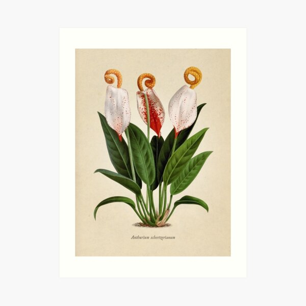 Anthurium scherzerianum old plate Lámina artística