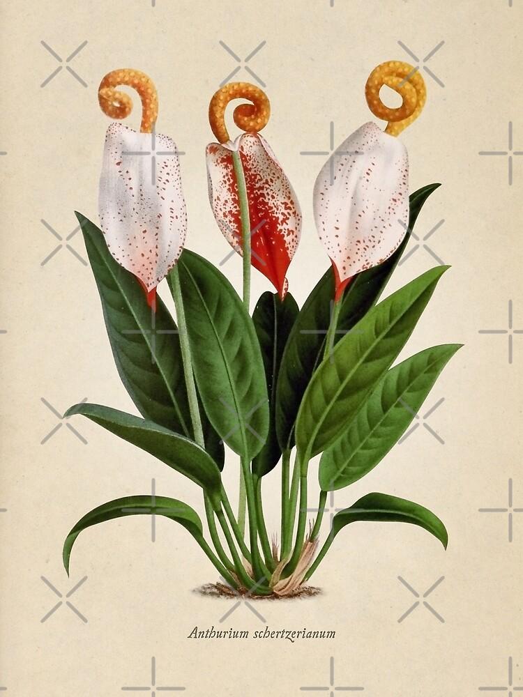 Anthurium scherzerianum old plate de bibliotee