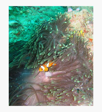 clown fish Photographic Print